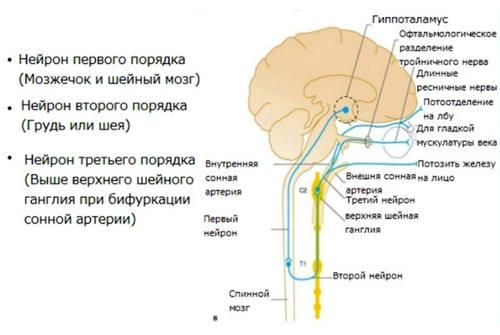 Патогенез развития синдрома Горнера