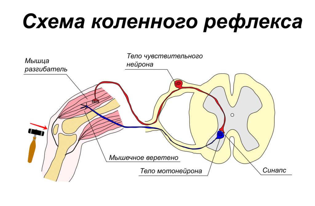 Сухожильные рефлексы